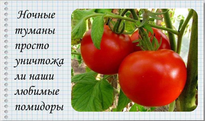 Выращивание помидоров в деревне.